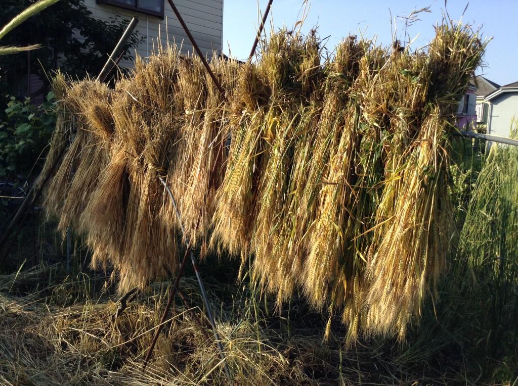小麦の掛干し