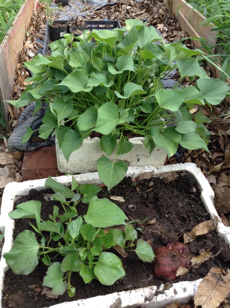 薩摩芋の苗作り