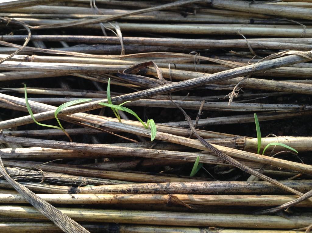 発芽した人参の双葉が敷き藁の間から出てきた