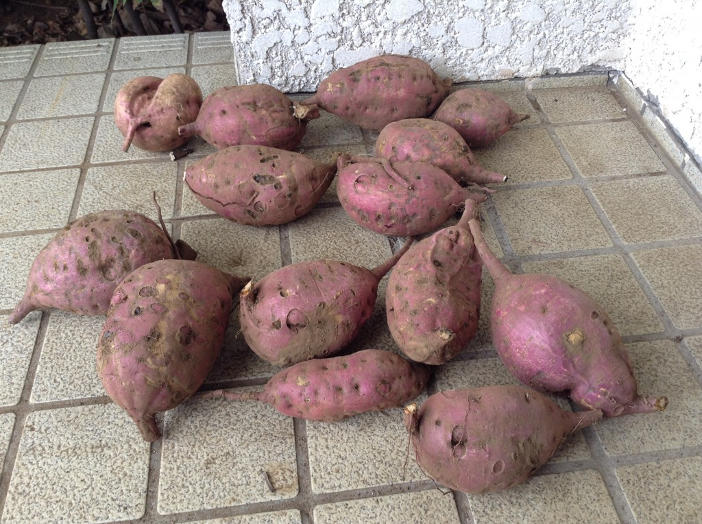 2014-09-19 10.45.03sweetpotato